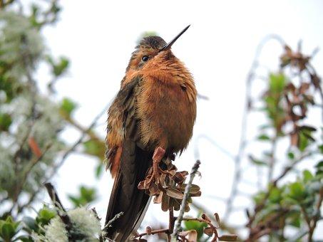 Hummingbird, Ave, Exotica, Nature, Nevado Del Ruiz