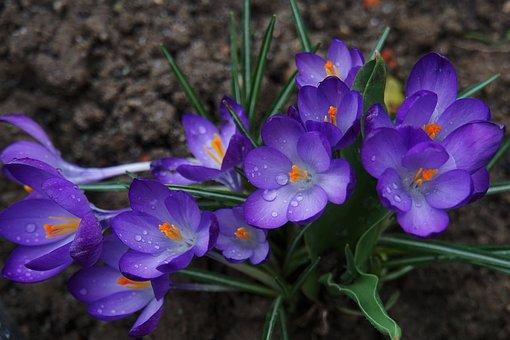 Crocus, Purple, Spring, Nature, Plant, Flowers, Bloom