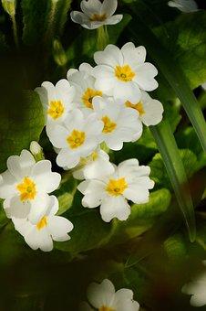 Flower, Primrose, Spring, Nature, Garden, Leaf, Botany