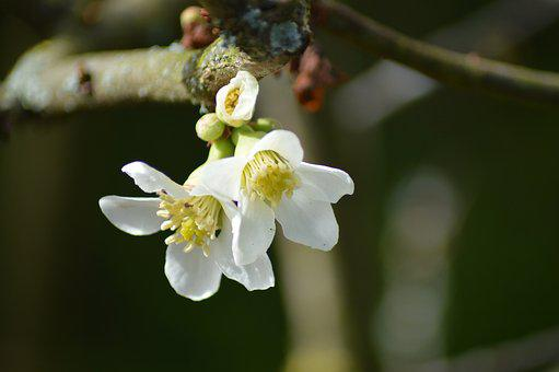 Flower, Bud, Nature, Spring, Garden, Tree, White