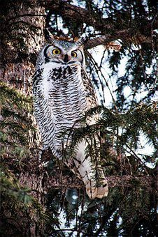 Female Great Horned Owl, Owl, Raptor, Night Hunters