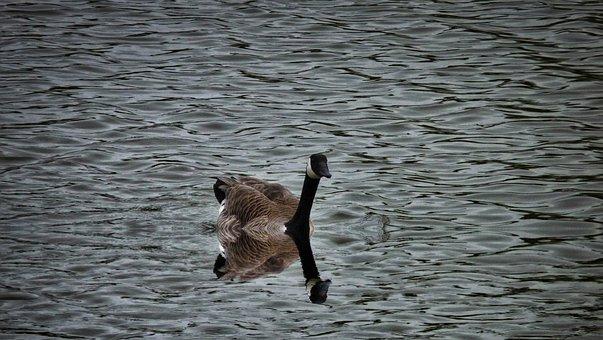 Goose, Geese, Gaggle, Waterfowl, Birds, Park, Lake