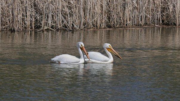 Pelicans, Water Birds, Fowl, Winnipeg, Manitoba, Canada