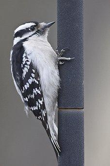 Bird, Woodpecker, Pole, Hanging