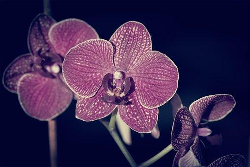 Orchid, Flower, Blossom, Bloom, Purple, Dusky Pink