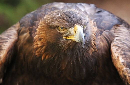 Golden, Raptor, Eagle, Bird, Nature, Predator, Eye