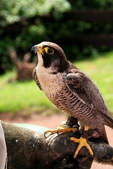 Falcon, Bird Of Prey, Raptor, Animal, Animal World
