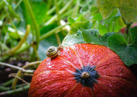 Snail, Pumpkin, Reptile, Autumn, Slowly, Red, Travel