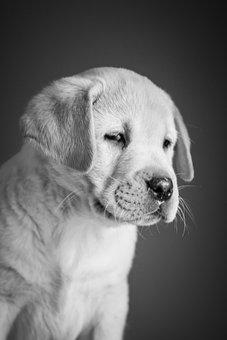 Puppy, Labrador, Retriever, White, Yellow, Cute