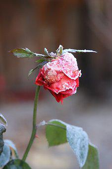 Rose, Frost, Winter, Frozen, Cold, Ice, Blossom, Bloom
