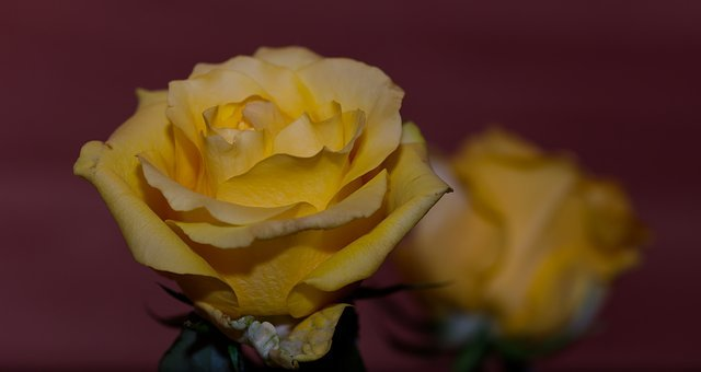 Rose, Yellow, Yellow Rose, Flower, Blossom, Bloom