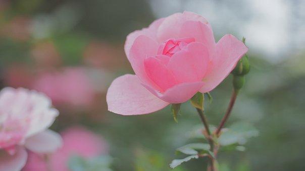 Rose, Autumn, Bokeh, Flower, Red, Rose Hip, Rustic