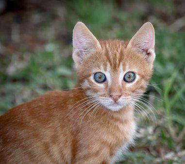 Cat, Domestic Cat, Pet, Small, Portrait, Close Up, Face