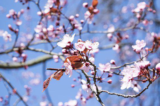 Flowers, Fiori Di Pesco, Spring, Nature, Rosa, Sky