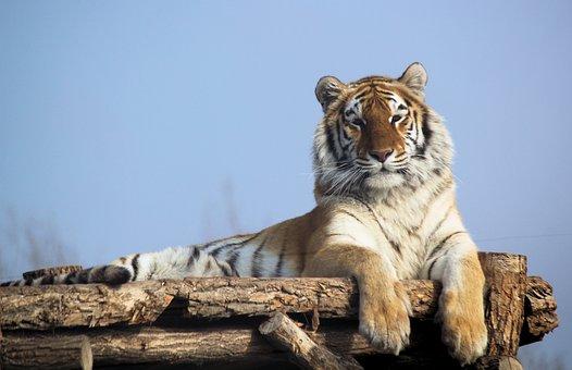 Tiger, Indian, Beast, Feline, Noble, Stripes, Mammal
