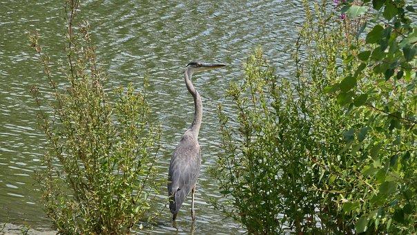 Great Blue Heron, Waterfowl, Park, Water, Birds