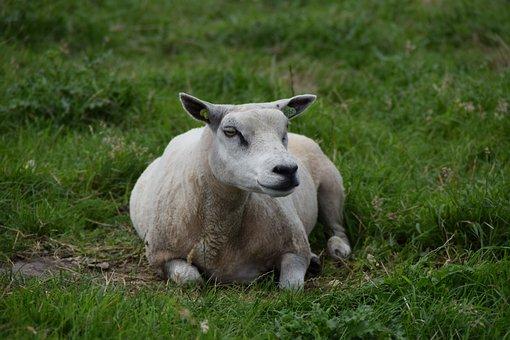 White, Sheep, Wool, Animal, Mammal, Lamb, Cattle, Cute