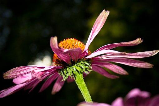 Echinazea, Wild Plant, Plant, Medicinal Plant, Purple