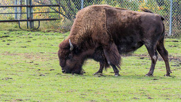 Bison, Buffalo, Big Beast, Winnipeg, Manitoba, Canada