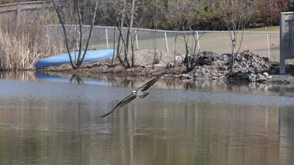 Osprey, Raptor, Seabirds, Water, Park, Winnipeg, Lake