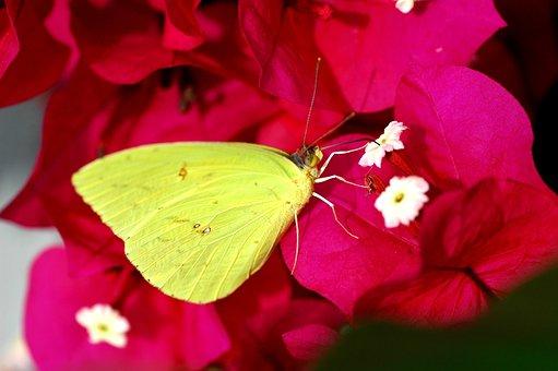 Veranera, Butterfly, Flower, Nature, Yellow, Flowers