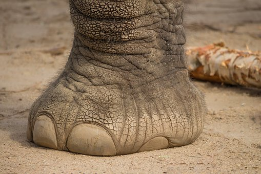 Elephant, Foot, Mammal, Skin, Stability, Large, Africa
