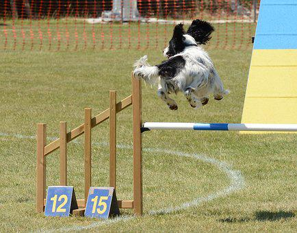 Spaniel Dog, Agility, Fitness, Jump, Summer, Fun