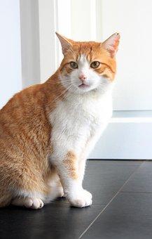 Cat, Red, Mackerel, Domestic Cat, Pet, Animal, Cat Face