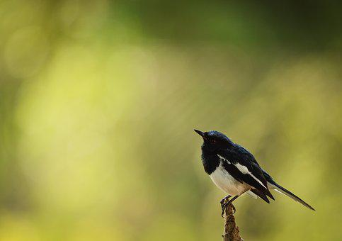 Bird, Magpie Robin, India, Wildlife, Nature, Robin
