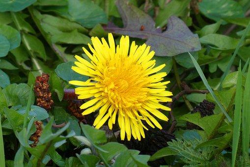 Dandelion, Berm, Flower, Spring, Botany, Bloom, Weeds