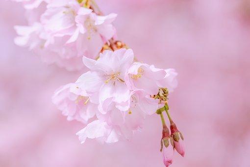 Japanese Cherry, Tree, Spring, Branch, Blossom, Bloom