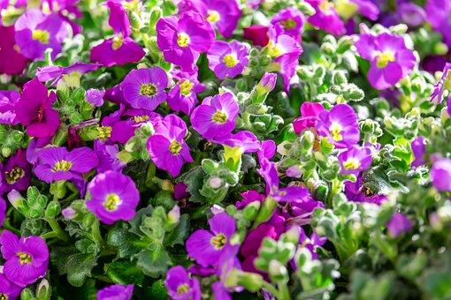 Blue Pillow, Garden Plant, Flowers, Purple, Pink