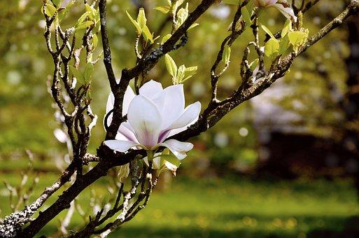 Magnolia, Tree Blossoms, Blossom, Bloom, White, Branch