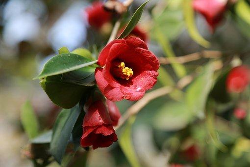 Camellia, Camellia Flower, Flowers, Petal