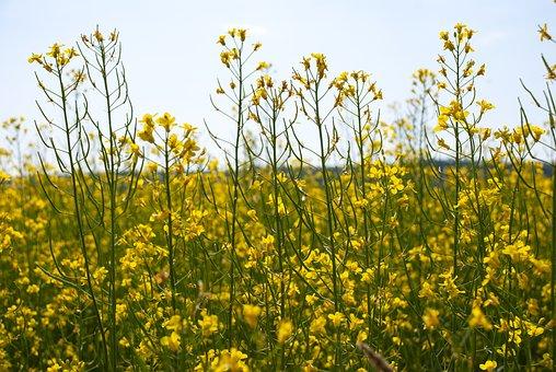 Canola, Summer, Cultivation, Landscapes, Agricultural