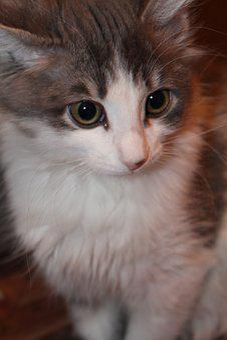 Cat, Kitten, Animals, Cute, Cats, Grey, View, Curious