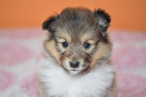 Puppy, Portrait Puppy Shetland Sheepdog, Dog, Bitch