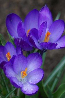 Crocus, Early Bloomer, Nature, Spring, Spring Flower