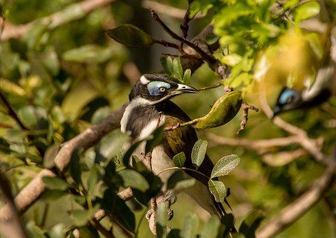 Blue Faced Honeyeater, Bird, Exotic, Honeyeater, Olive