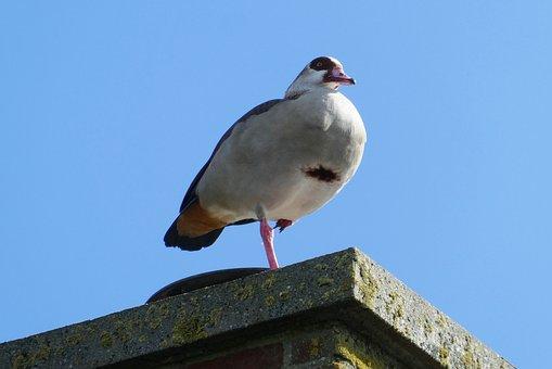 Nile Goose, Feathers, Chimney, Bird, Nature, Beak
