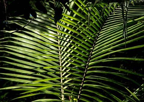 Palm, Bangalow Palm, Frond, Rain Forest, Australia