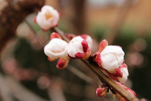 Apricot Tree, Tree, Apricots, Flowers, Fruit, Nature