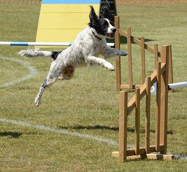 Spaniel Dog, Agility, Fitness, Jump, Summer, Fun