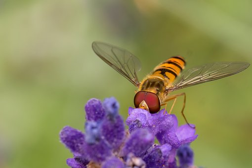 Insect, Lavender, Natural, Garden, Summer, Wing, Macro