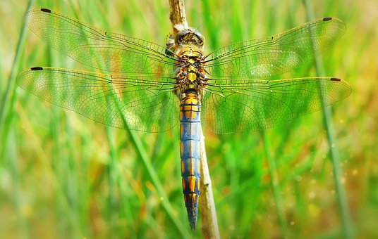 Lecicha Total, Tom, Dragonflies Różnoskrzydłe, Insect