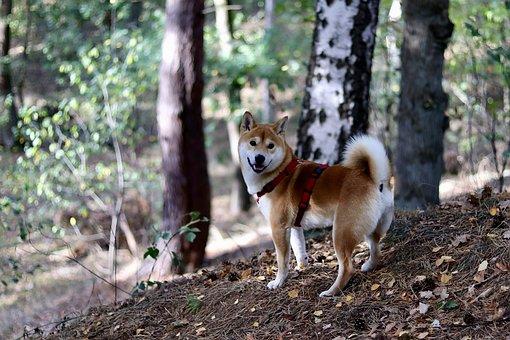 Dog, Japan, Shiba, Purebred, Japanese, Red, Cute