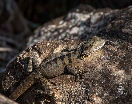 Lizard, Reprile, Eastern Water Dragon