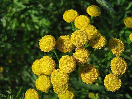 Tansy, Flowers, Nature, Flora, Yellow, Macro, Botanica