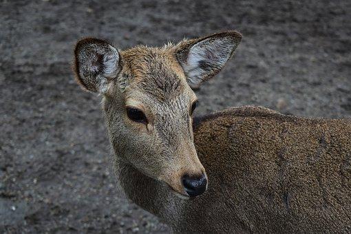 Nara Deer Park, Nara, Japan, Deer, Wildlife