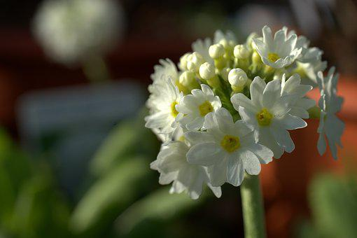 Primula, Flower, Spring, Denticulate, Nature, Bloom